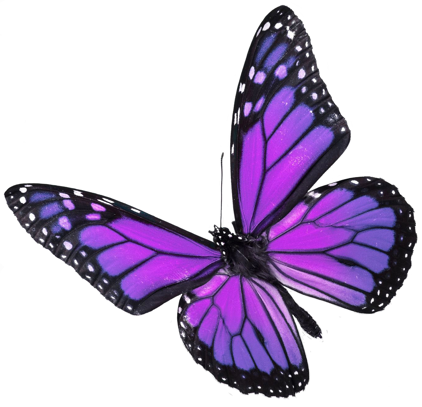Violet butterfly for Showing Gallery for Real Purple butterfly Litle Pups